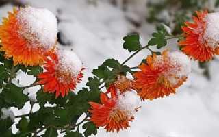 Хризантемы уход осенью подготовка к зиме