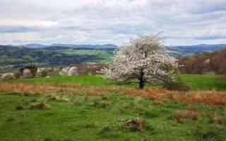 Как растет вишня