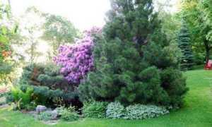 Смерека что за дерево как садить