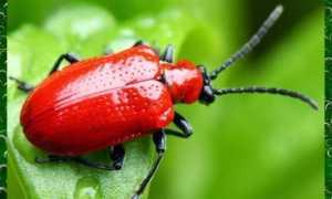 Вредители лилии красные жуки борьба с ними