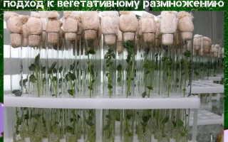 Клонирование растений в домашних условиях видео