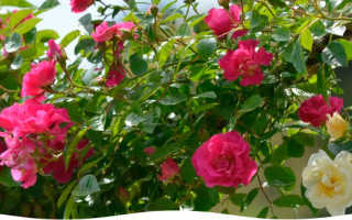 Как лучше укрыть розы на зиму