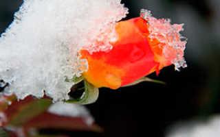 Как убрать розы на зиму