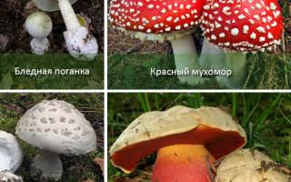 Как выглядят ядовитые грибы