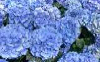 Гидрангея макрофилла