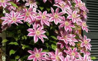 Когда лучше сажать клематисы весной или осенью