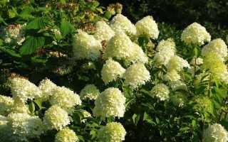 Гортензия метельчатая grandiflora