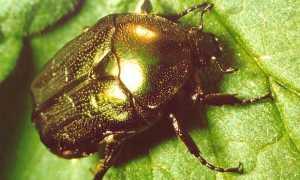 Большой зеленый жук