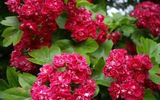 Неприхотливые кустарники цветущие все лето