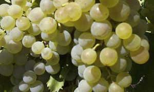 Виноград бессараб