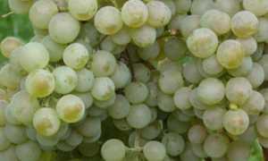 Виноград степняк