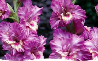 Как выращивать гладиолусы на даче