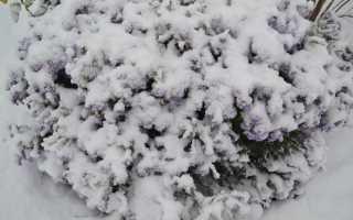 Как укрывать клематисы на зиму