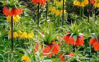 Рябчики цветы посадка и уход