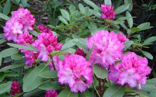 Рододендрон хеллики описание: посадка и уход