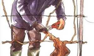 Виноград осенняя обрезка видео