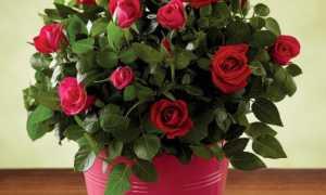 Горшечная роза