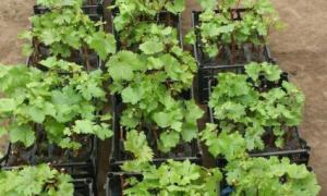 Как правильно размножить виноград черенками видео
