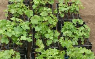 Розмноження винограду черенками