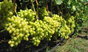 Подкормка винограда осенью видео