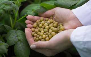 Как вырастить картошку из семян