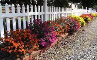 Карликовые хризантемы зимовка