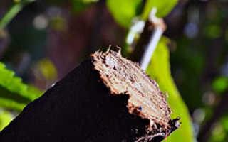 Обрезка деревьев весной когда делать