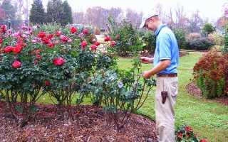 Уход за розами на зиму обрезка