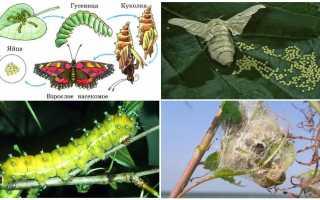 Как из гусеницы появляется бабочка
