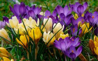 Когда цветут крокусы
