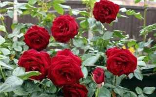 Обрезка парковых роз на зиму