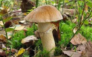 Сколько варить грибы курочки