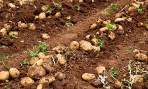Что садить после картофеля на следующий год