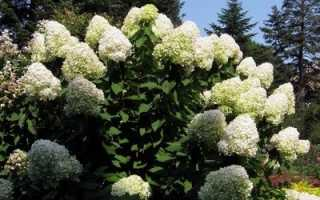 Как зимует гортензия садовая