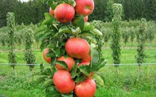 Колоновидное дерево яблоня