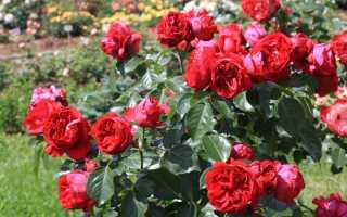 Этерниевая роза